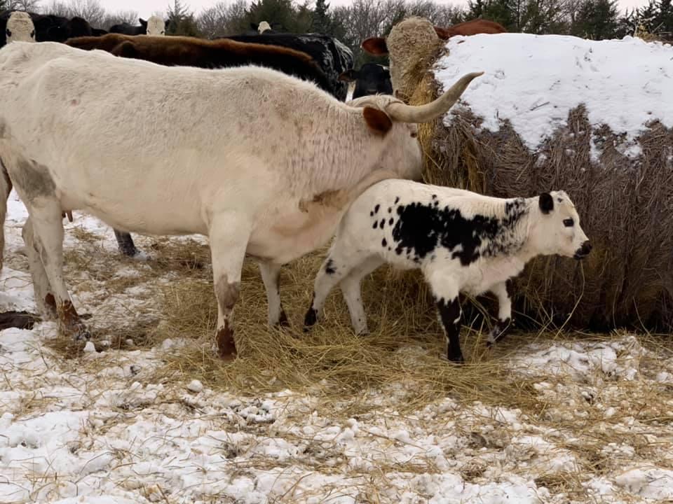 baby cow snow hay photo